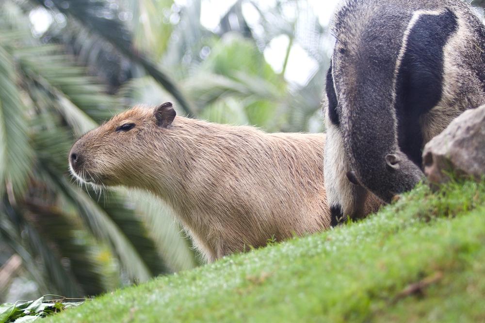 Teneriffa Loro Parque Park Wasserschwein kaufen Pauschalreise Urlaub