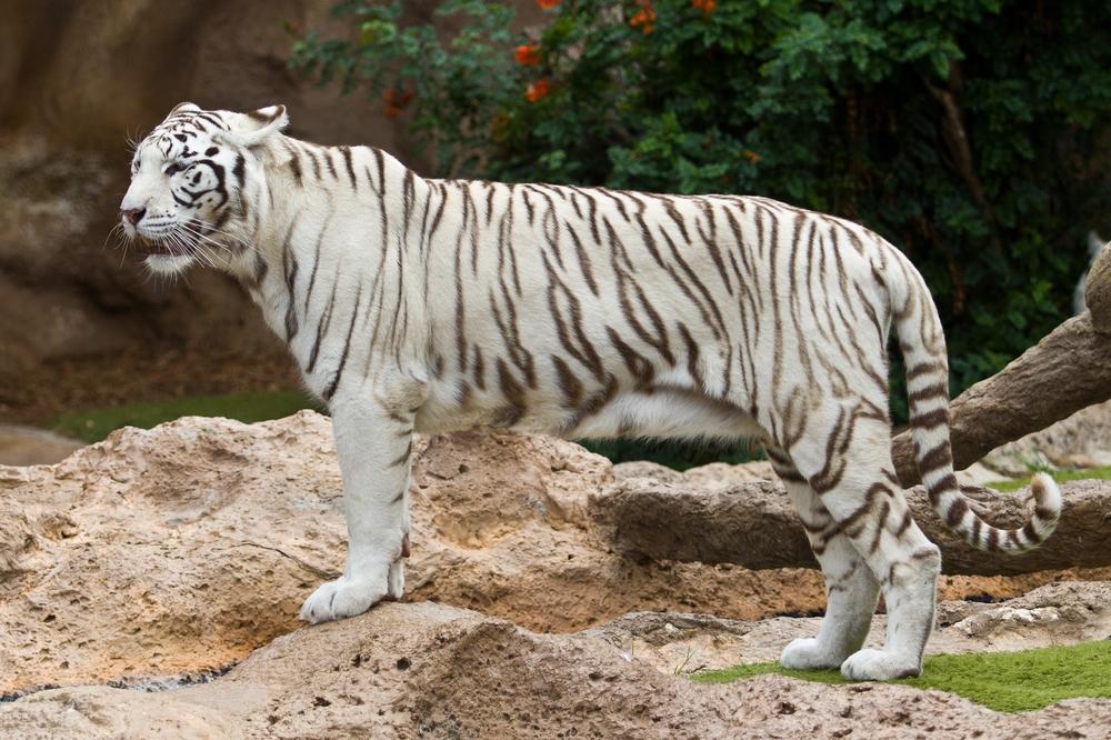 Teneriffa Loro Parque Park weißer Tiger Tagesreise Pauschalreise Urlaub