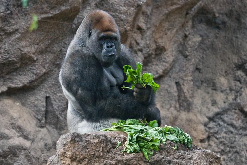 Teneriffa Loro Parque Gorilla Affe Pauschalreise Urlaub