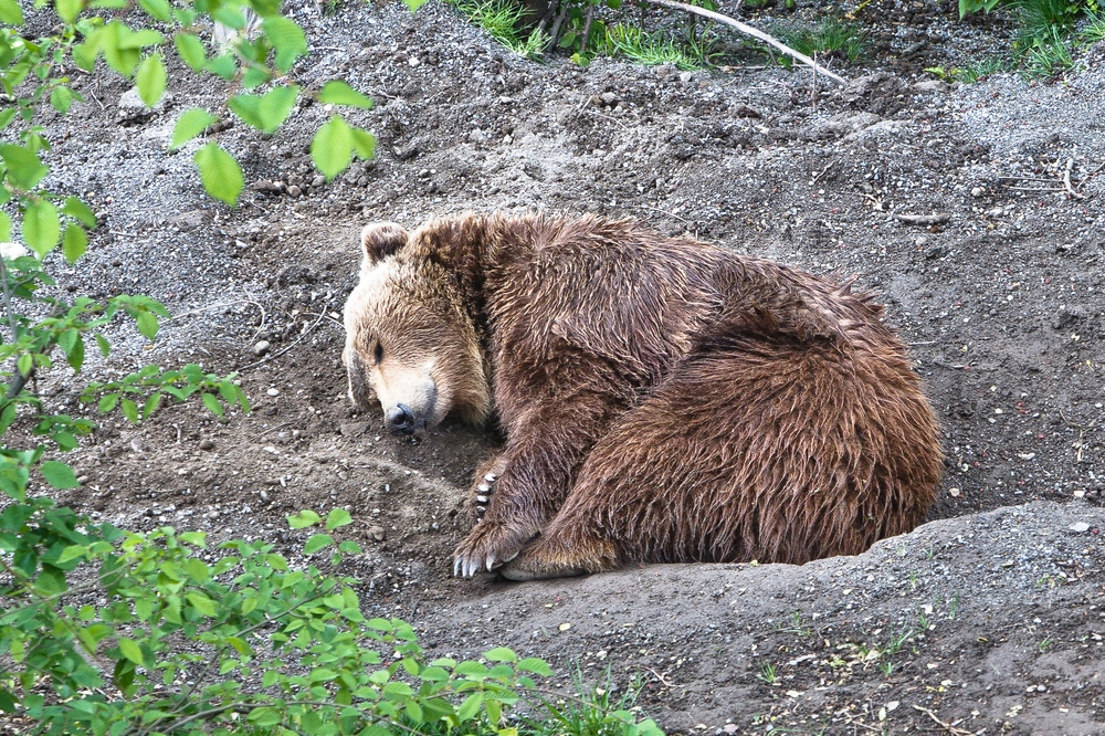 Bern Berner Oberland Schweiz Bären