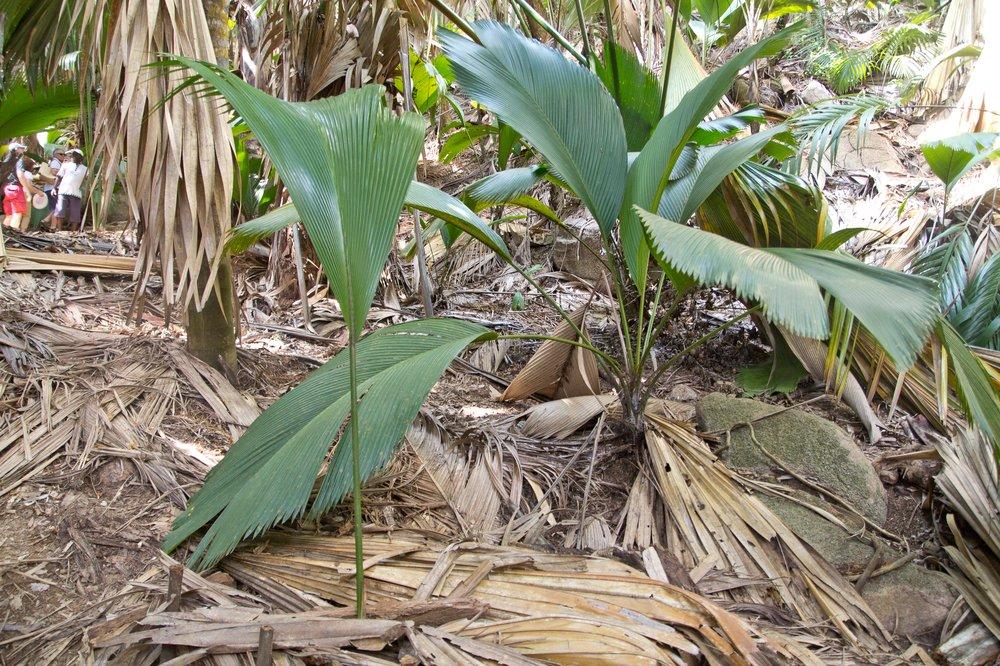 Coco de Mer im Vallée de Mai, Praslin Seychellen