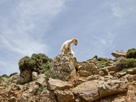 Ziege Schaf Kreta Straße Urlaub