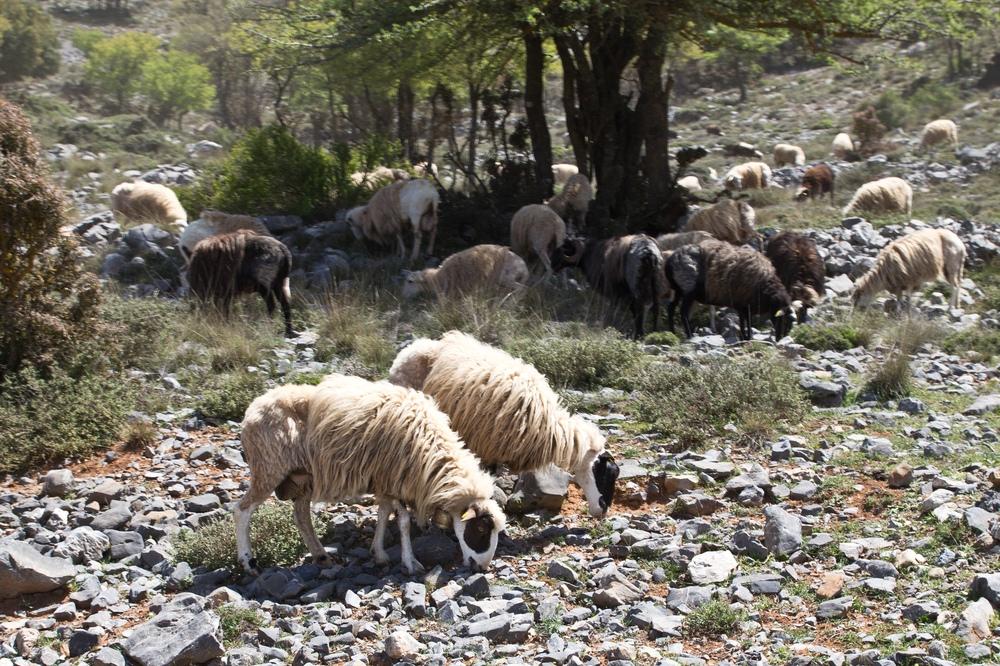 Schafe Ziegen Kreta