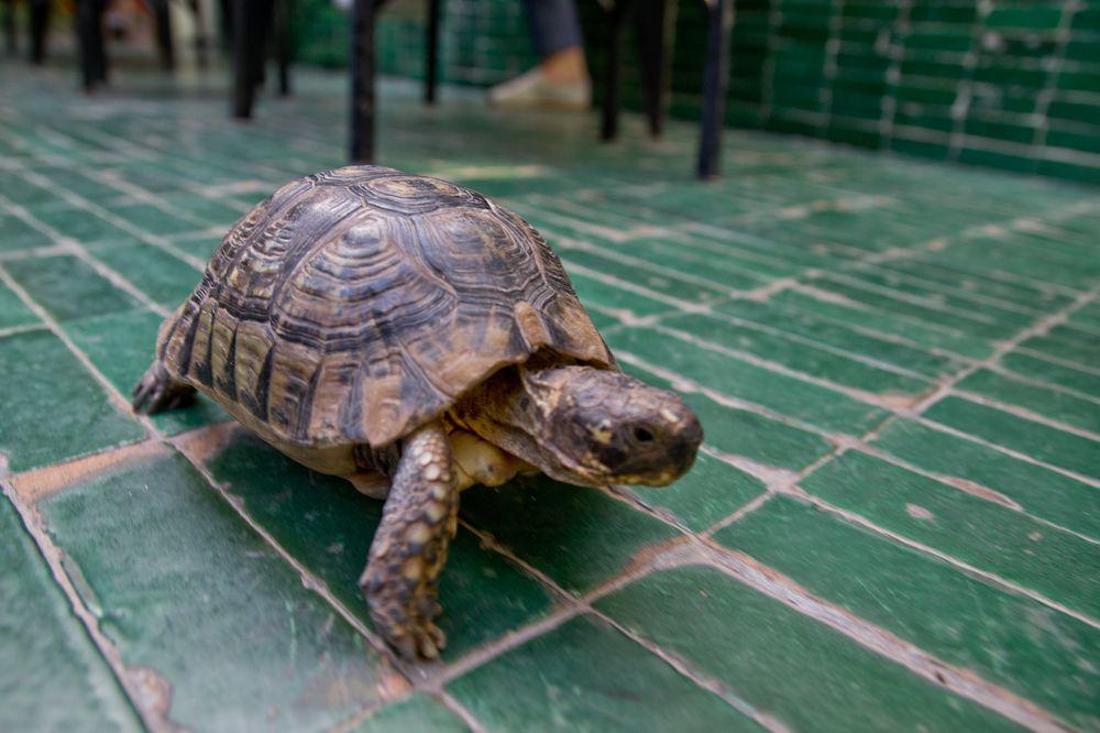 Marrakesch Restaurant Le Jardin Schildkröte
