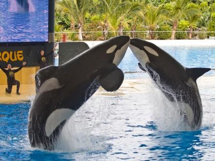 Teneriffa Loro Parque Park Orca Killerwal Orca Ocean