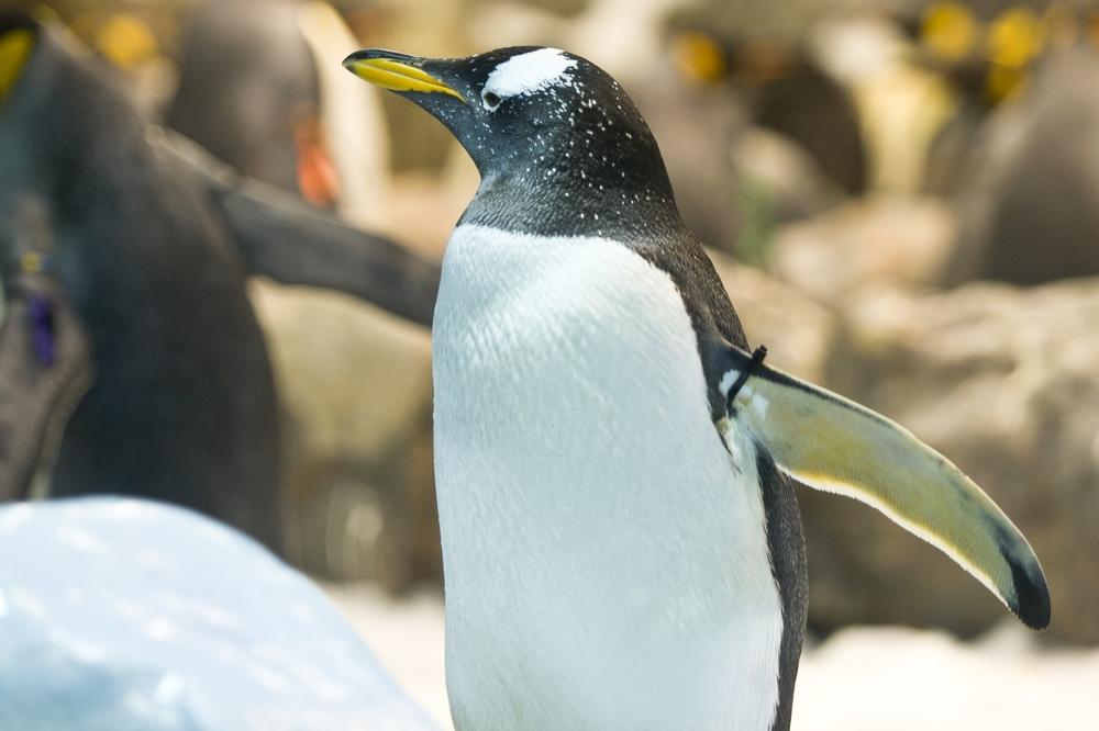 Teneriffa Loro Parque Park Pinguin Königspinguin Pauschalreise Urlaub