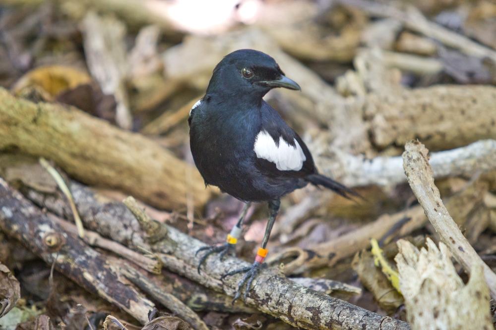 Seychellendajal Seychelles Magpie Robin