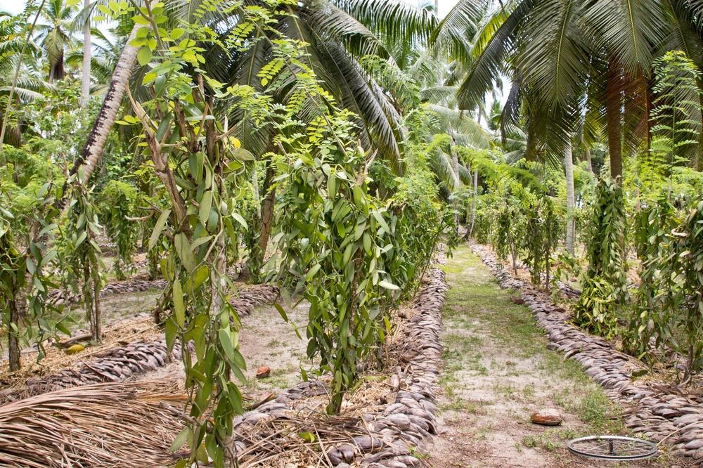 Vanille Anbau La Digue Seychellen