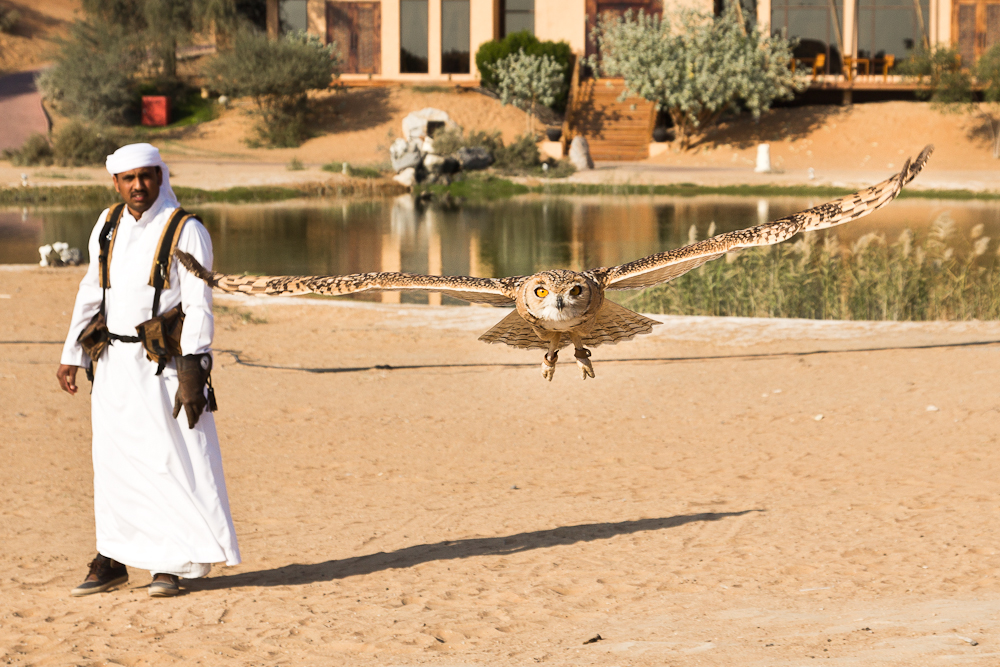 Eule im Flug Ras Al Khaimah