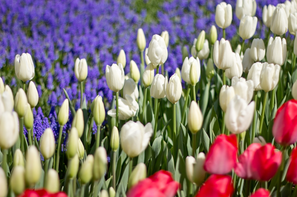 Tulpen Istanbul Nationalpflanze Gülhane Park