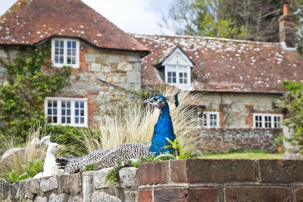 Pfau Peacock Garlic Farm Isle of Wight
