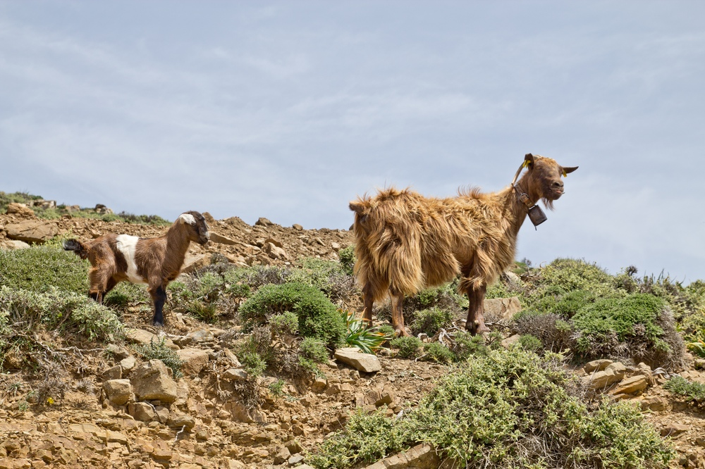 Ziege Baby Jungtier Mutter Elterntier Kreta