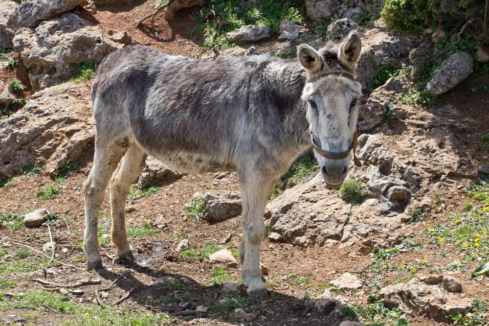Esel Kreta